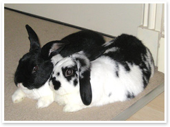 Bailey and Daisy - bonded rabbits