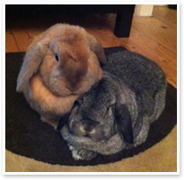 Pudding and Honey - bonded rabbits