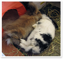 Lily and Billy - bonded rabbits