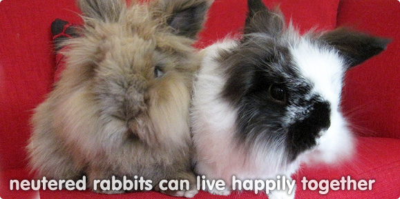 Why do I need to have my rabbits neutered?